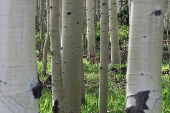 deer in aspen trees