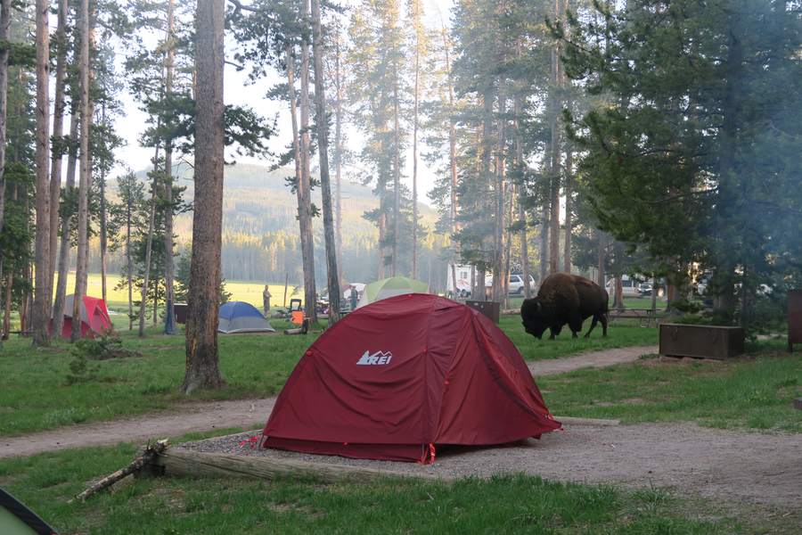 bison in norris camp
