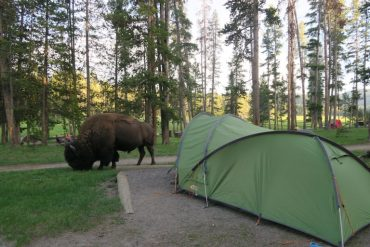 bison by the tent